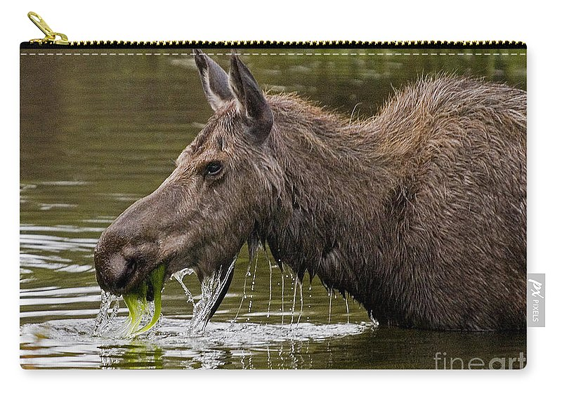 Alces Americanus Carry-all Pouch featuring the photograph Feeding Moose by J L Woody Wooden