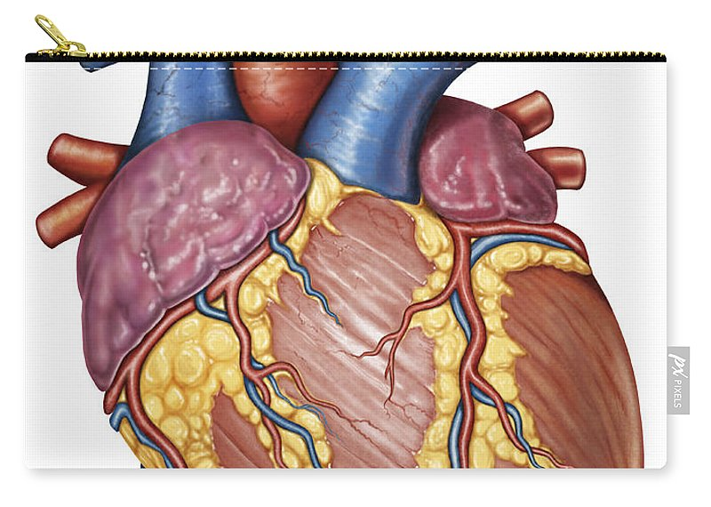 Gross Anatomy Of The Human Heart Carry All Pouch For Sale By