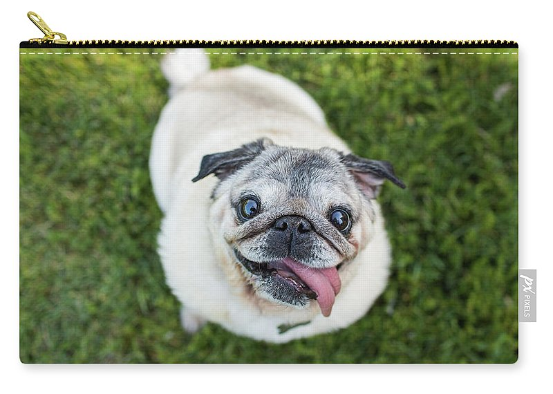 Pets Carry-all Pouch featuring the photograph Happy Pug Dog Looks Up At Camera by Purple Collar Pet Photography