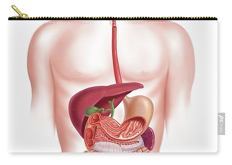Anus Carry-all Pouch featuring the digital art Human Digestive System, Artwork by Science Photo Library - Leonello Calvetti