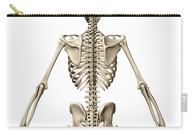 Human Skeleton Posterior View Carry All Pouch For Sale By Evan Oto
