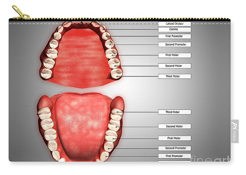Human Teeth Structure With Labels Carry-all Pouch for Sale by ...