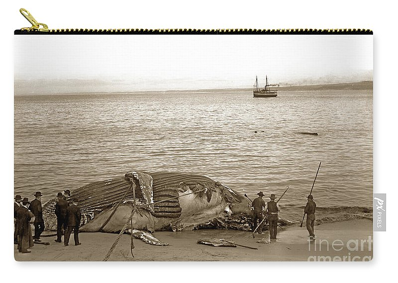 Humpback Whale Carry-all Pouch featuring the photograph Humpback Whale On A Monterey Beach California Circa 1896. by California Views Archives Mr Pat Hathaway Archives