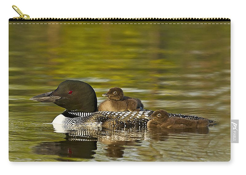 Common Loon Carry-all Pouch featuring the photograph Loon Parent With Two Chicks by John Vose