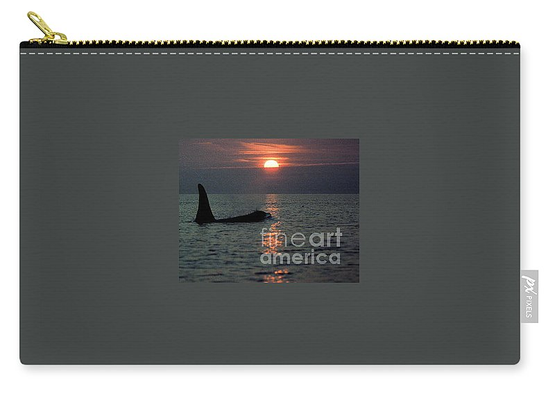 Male Carry-all Pouch featuring the photograph Male Orca At Sunset Off San Juan Island Washington 1986 by California Views Archives Mr Pat Hathaway Archives
