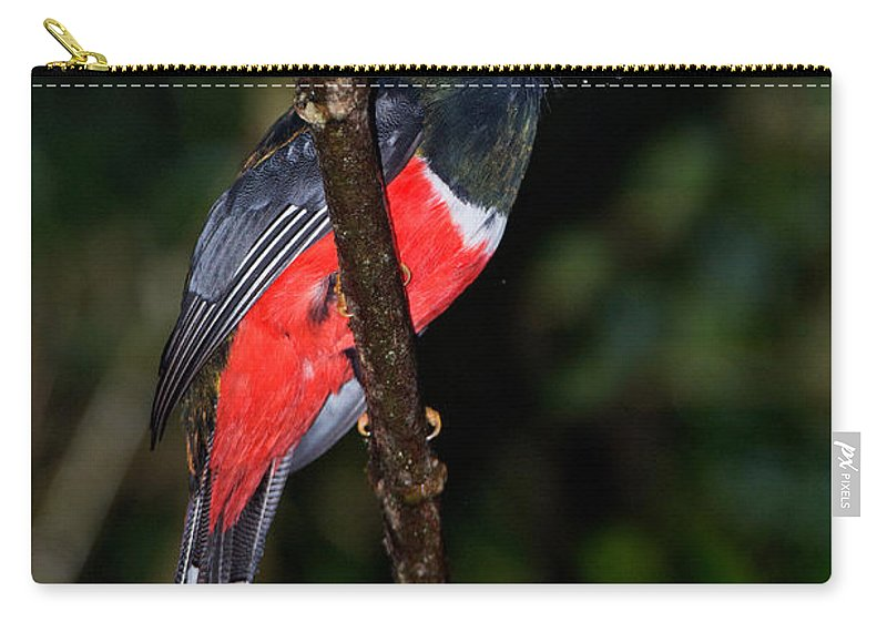 Masked Trogon Carry-all Pouch featuring the photograph Masked Trogon With Moth by Anthony Mercieca