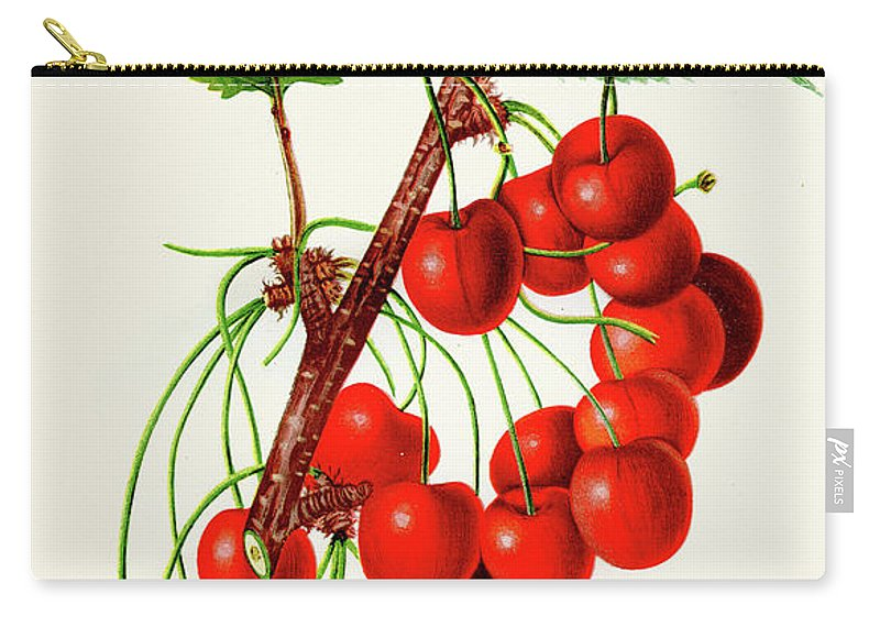 Engraving Carry-all Pouch featuring the digital art Mercer Cherry Illustration 1892 by Thepalmer