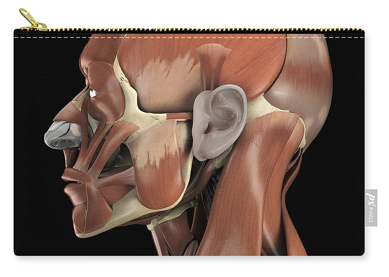 Muscular System Carry-all Pouch featuring the photograph Muscles Of The Head by Science Picture Co