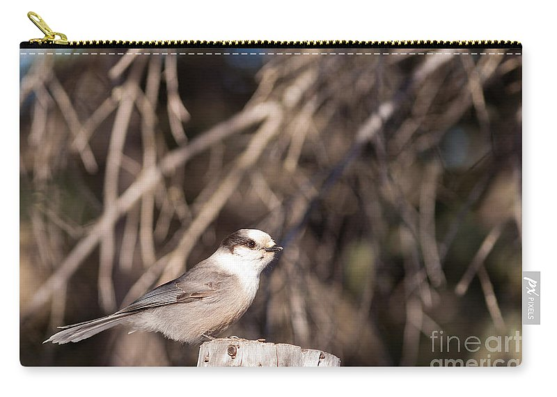Animal Carry-all Pouch featuring the photograph Perched Grey Jay Perisoreus Canadensis Watching by Stephan Pietzko