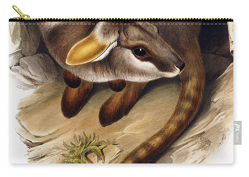 Wildlife Carry-all Pouch featuring the painting Petrogale Xanthopus   Ch 991244 by English School