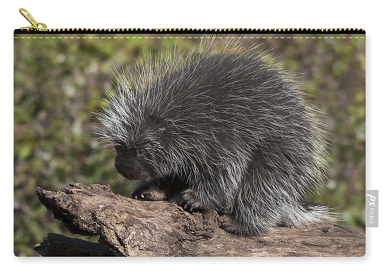 Porcupine Carry-all Pouch featuring the photograph Porcupine Looking For Food by Paul Cannon