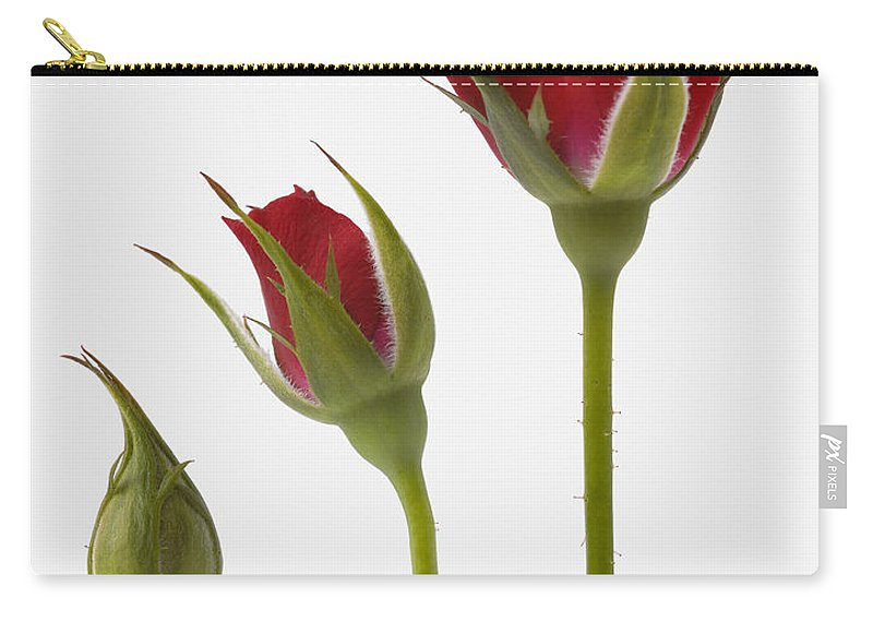 Our Time Lapse Photo Sequence Tulips Go >> Red Rose Flower Opening Sequence Carry All Pouch For Sale By Mark Bowler