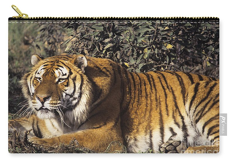Siberian Tiger Carry-all Pouch featuring the photograph Siberian Tiger Stalking Endangered Species Wildlife Rescue by Dave Welling