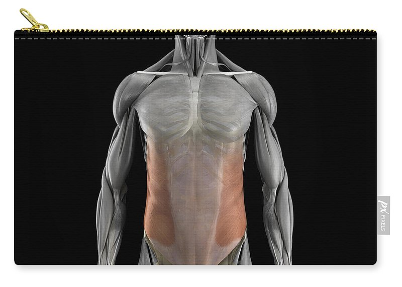 3d Visualisation Carry-all Pouch featuring the photograph The External Oblique Muscles by Science Picture Co
