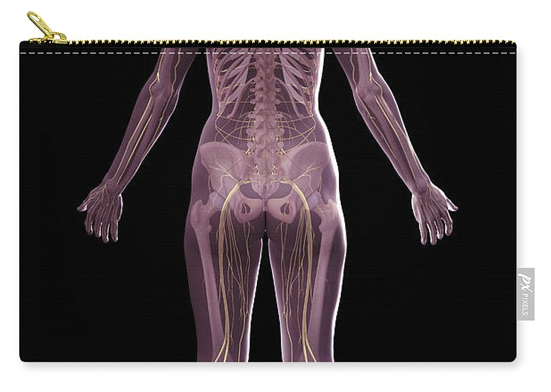 Tibia Carry-all Pouch featuring the photograph The Nervous And Skeletal Systems Female by Science Picture Co