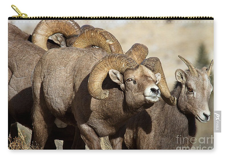 Bighorn Sheep Carry-all Pouch featuring the photograph The Pied Piper by Jim Garrison