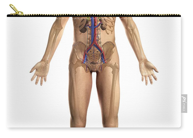 Kidney Carry-all Pouch featuring the photograph The Renal System Male by Science Picture Co