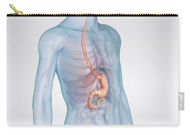 3d Visualisation Carry-all Pouch featuring the photograph The Stomach Child by Science Picture Co