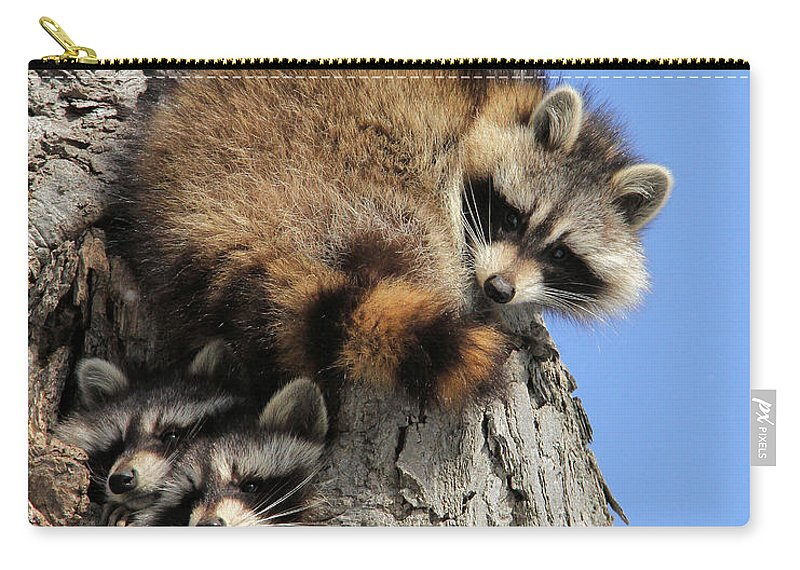 Raccoon Carry-all Pouch featuring the photograph Three Young Raccoons by Doris Potter