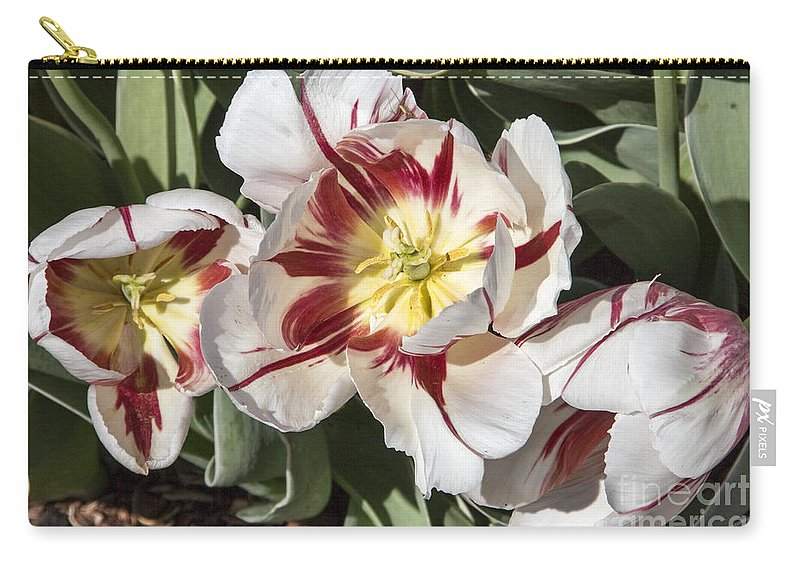 Tulips Carry-all Pouch featuring the photograph Tulips At Dallas Arboretum V91 by Douglas Barnard