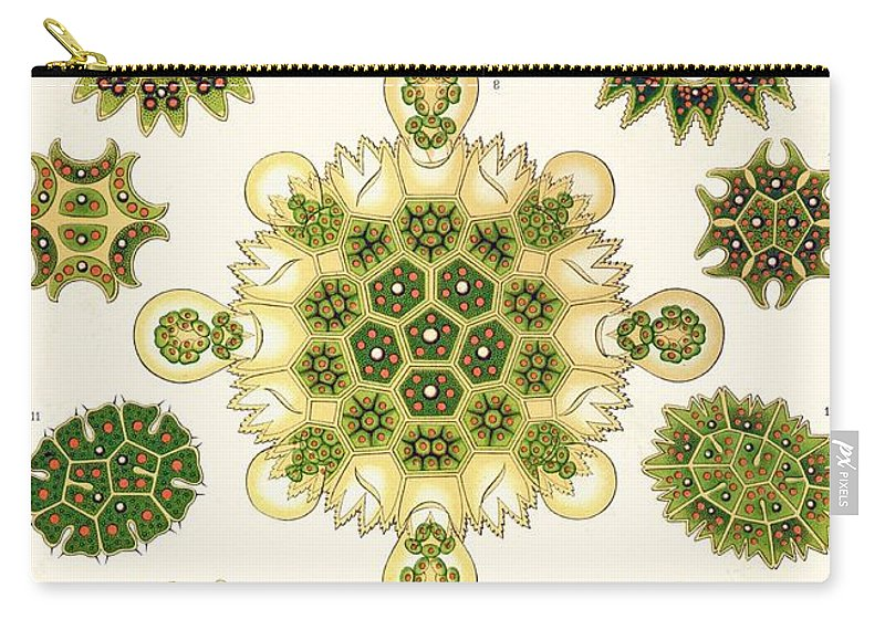 Vertical Carry-all Pouch featuring the painting Varities Of Pediastrum From Kunstformen Der Natur by Ernst Haeckel