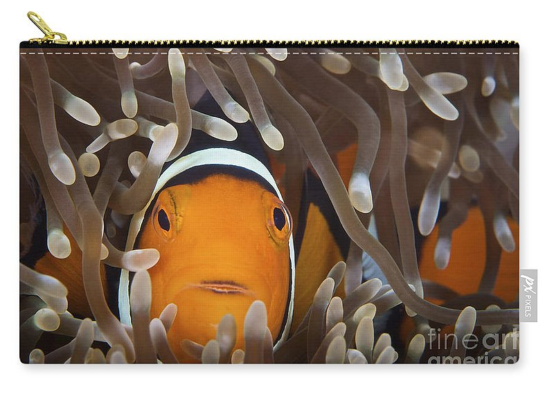Amphiprion Percula Carry-all Pouch featuring the photograph Percula Clownfish In Its Host Anemone by Terry Moore