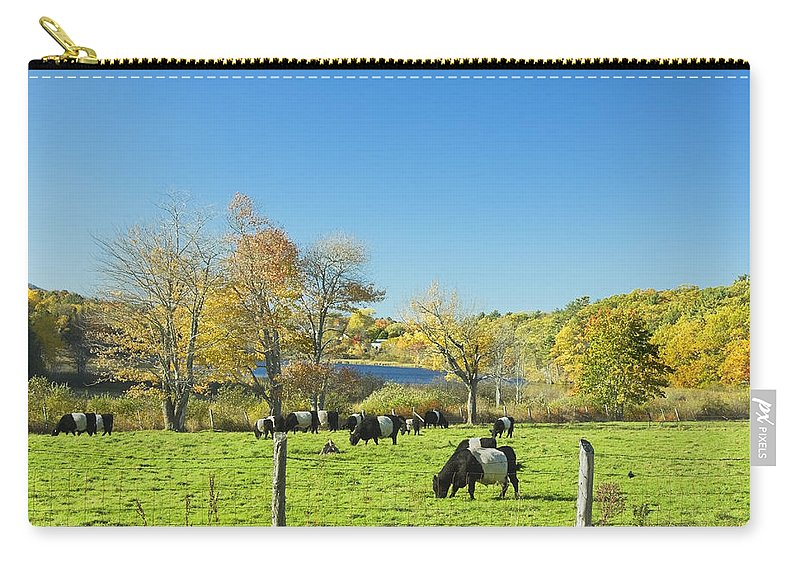 Cow Carry-all Pouch featuring the photograph Belted Galloway Cows Grazing On Grass In Rockport Farm Fall Main by Keith Webber Jr