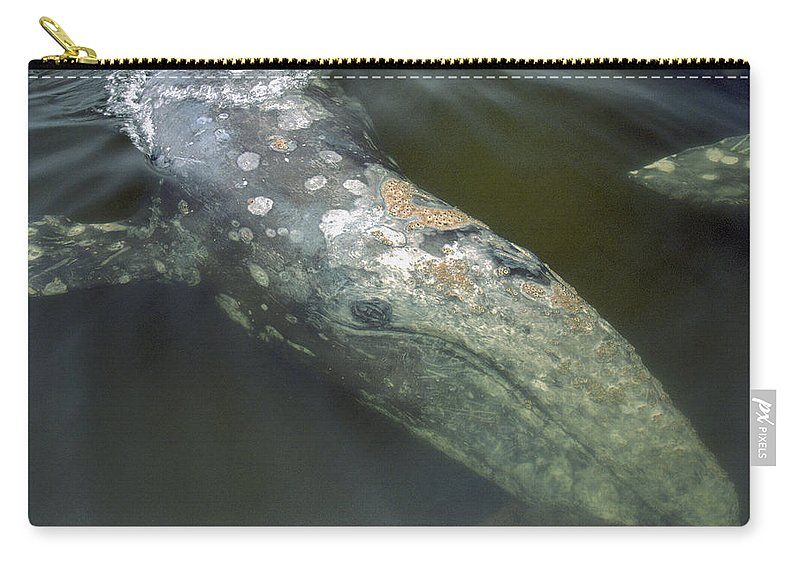 00117017 Carry-all Pouch featuring the photograph Gray Whale Filter Feeding Clayoquot by Flip Nicklin