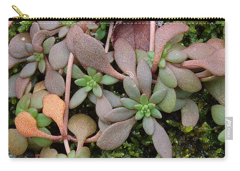 Sedum Pulchellum Carry-all Pouch featuring the photograph Lime Stonecrop Leaves In Winter by Daniel Reed