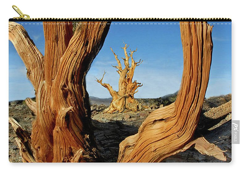 Bristlecone Pine Carry-all Pouch featuring the photograph Looking Through A Bristlecone Pine by Dave Mills