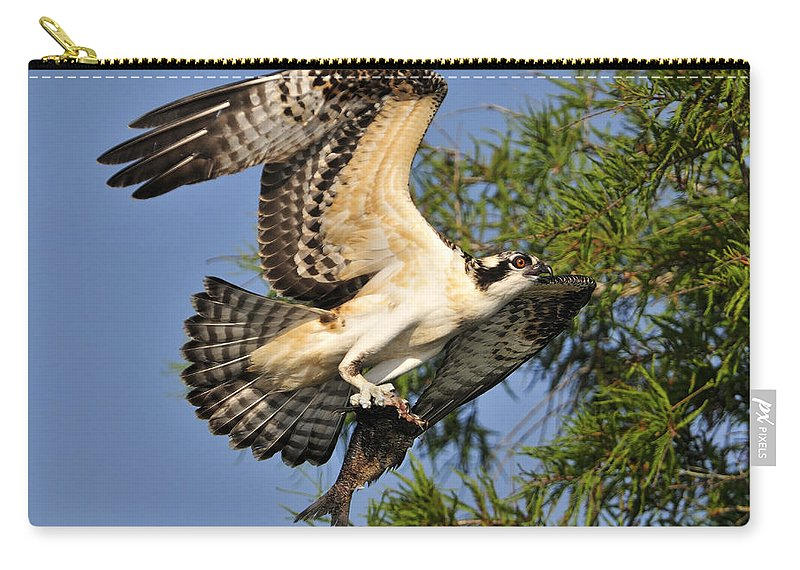 Osprey Carry-all Pouch featuring the photograph Osprey Flight by Bill Dodsworth