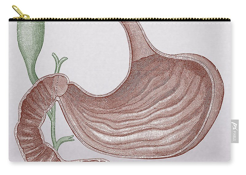 Abdominal Carry-all Pouch featuring the photograph Stomach And Bile Duct by Science Source