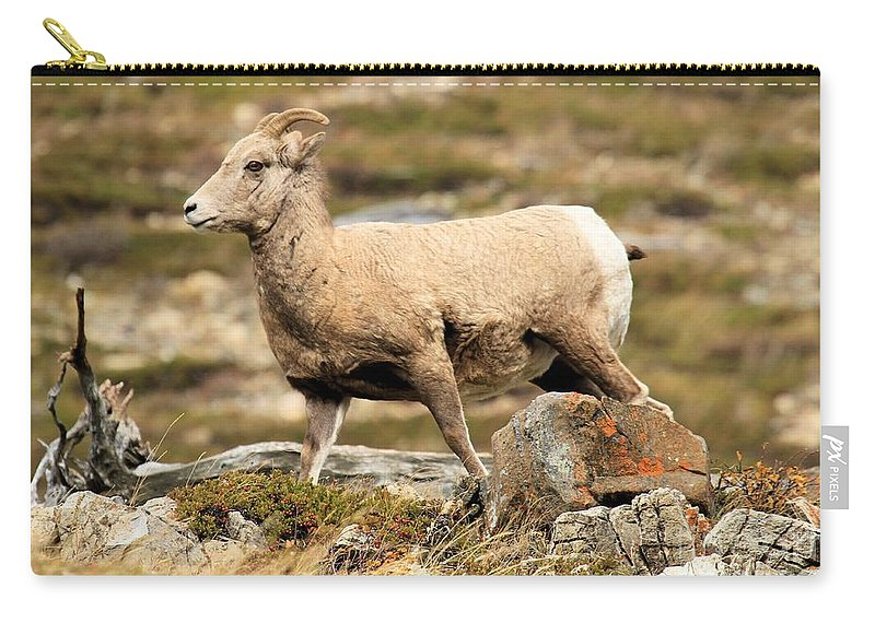 Big Horn Sheep Carry-all Pouch featuring the photograph The Queen by Adam Jewell