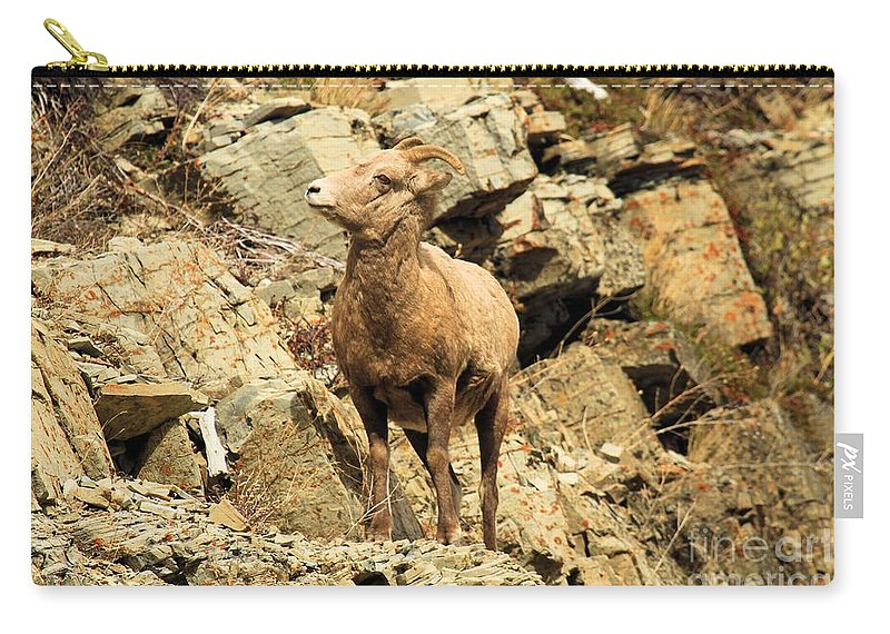 Big Horn Sheep Carry-all Pouch featuring the photograph Up Where? by Adam Jewell