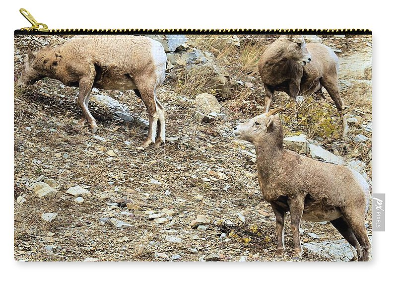 Big Horn Sheep Carry-all Pouch featuring the photograph Who's On First? by Adam Jewell
