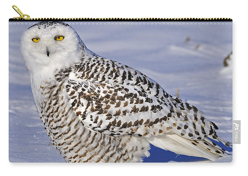 Snowy Owl Carry-all Pouch featuring the photograph Young Snowy Owl by Tony Beck