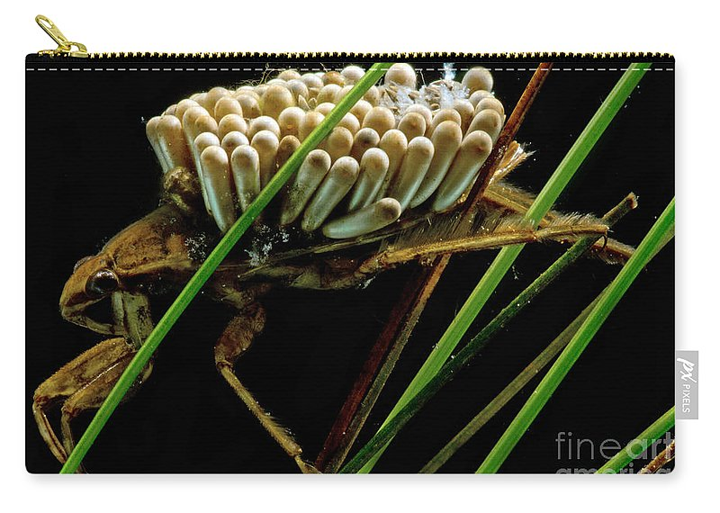 Predatory Water Beetle Carry-all Pouch featuring the photograph Water Beetle Brooding Eggs by Dant� Fenolio