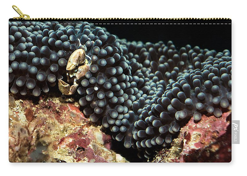 Anemone Carry-all Pouch featuring the photograph Anemone Crab by Mumbles and Grumbles