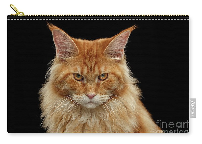 Angry Carry-all Pouch featuring the photograph Angry Ginger Maine Coon Cat Gazing On Black Background by Sergey Taran