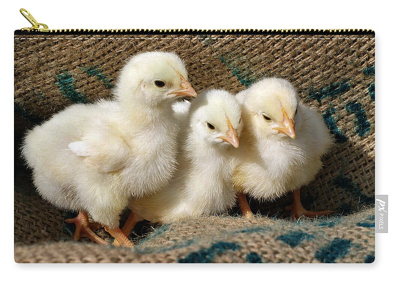 Chickens Carry-all Pouch featuring the photograph Baby Chicks by Sandy Keeton