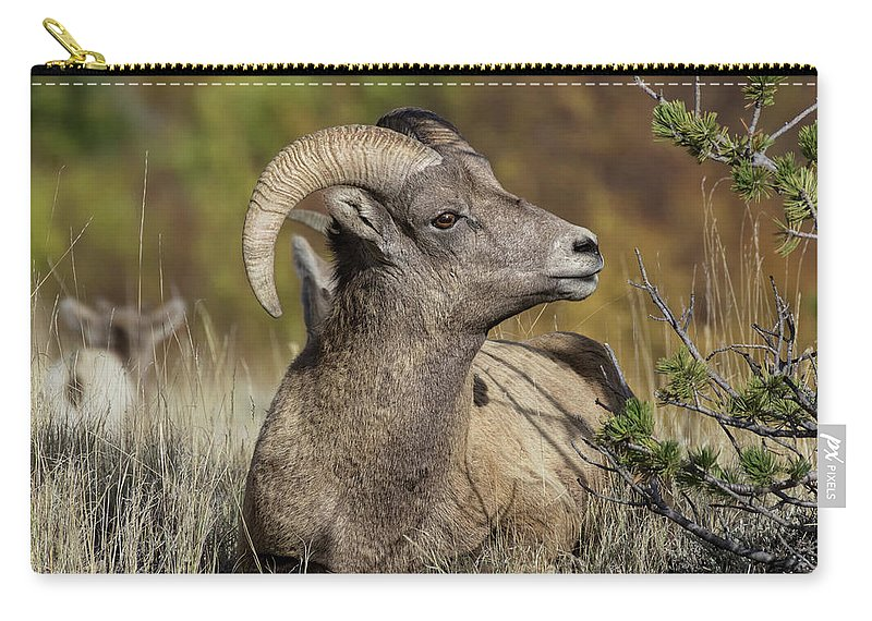 Wildlife Photography Carry-all Pouch featuring the photograph Bighorn Ram Kicking Back by Kathleen Bishop