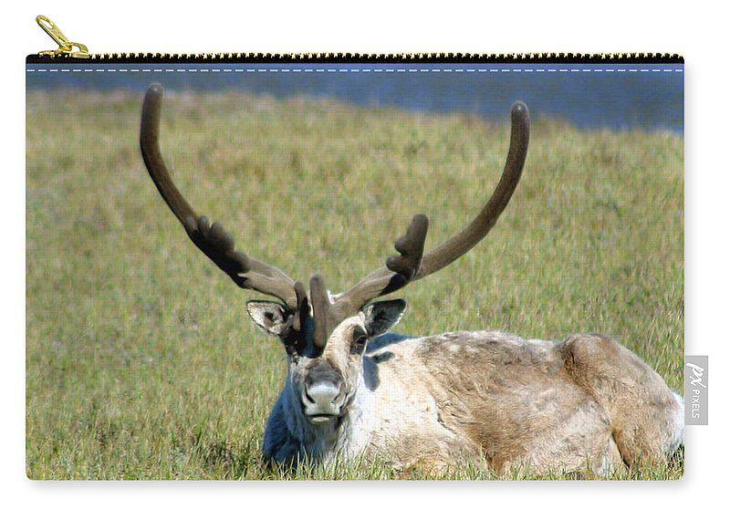 Caribou Carry-all Pouch featuring the photograph Caribou Resting In Tundra Grass by Anthony Jones