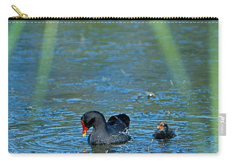 Moorhen Carry-all Pouch featuring the photograph Common Moorhen And Her Baby by John Harmon