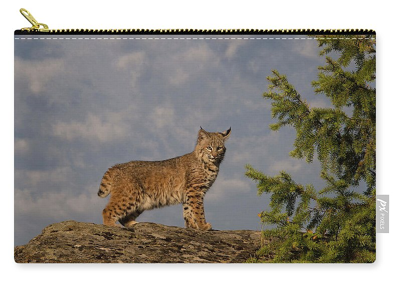 Bobcat Carry-all Pouch featuring the photograph Curious bobcat by Roy Nierdieck