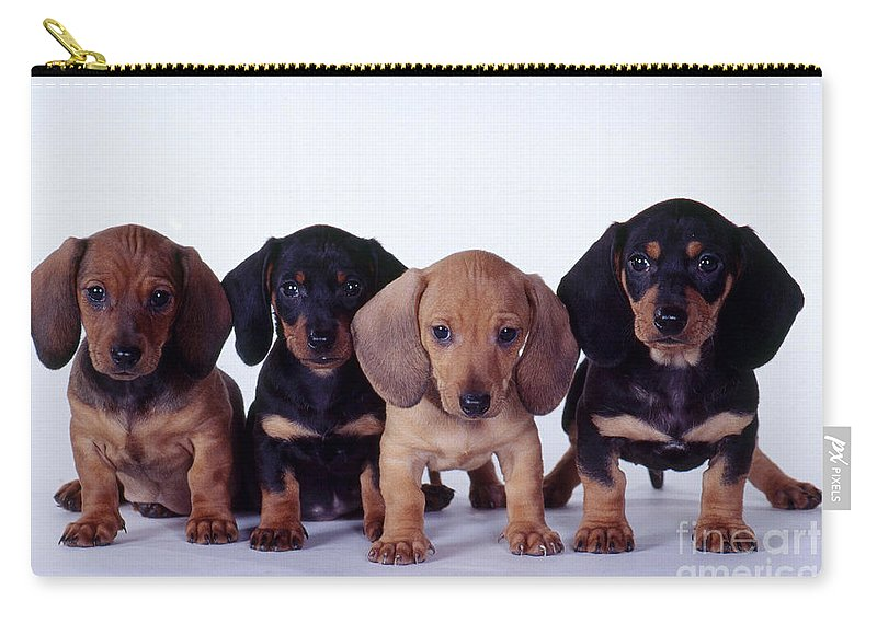 Fauna Carry-all Pouch featuring the photograph Dachshund Puppies by Carolyn McKeone and Photo Researchers