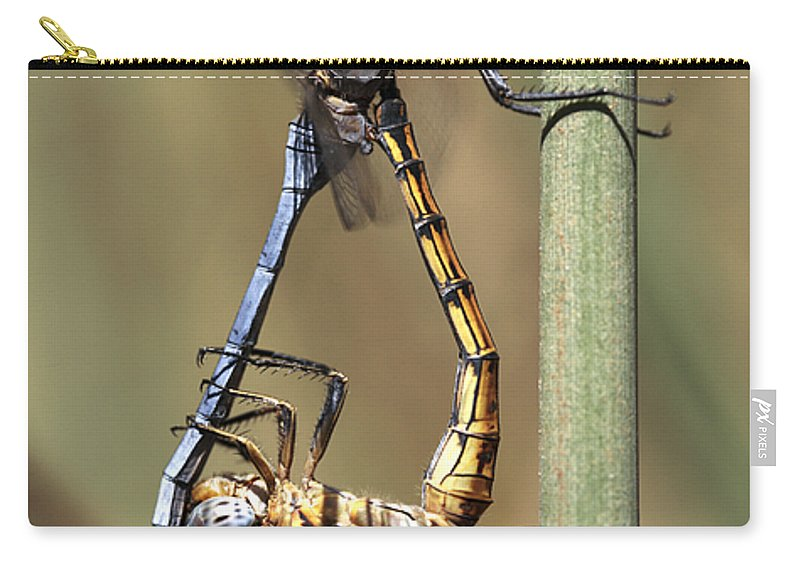 Common Thorntail Dragonfly Carry-all Pouch featuring the photograph Dragonflies Mating by Neil Overy