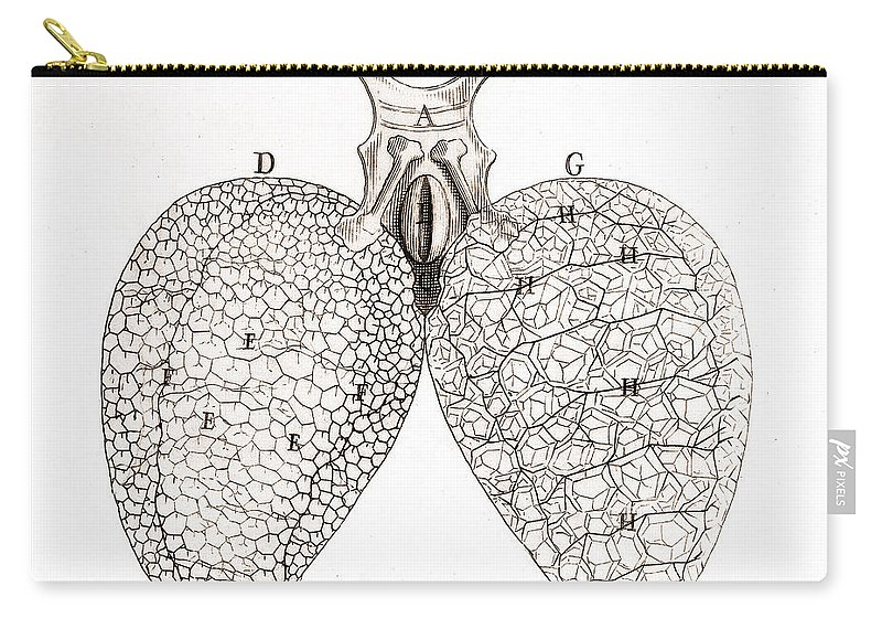 Historic Carry-all Pouch featuring the photograph Frog Lungs, Malpighi, 1661 by Wellcome Images
