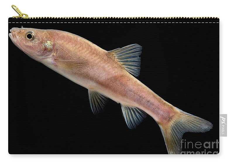 Huanjiang Golden Line Barbel Carry-all Pouch featuring the photograph Huanjiang Golden Line Barbel by Dant� Fenolio