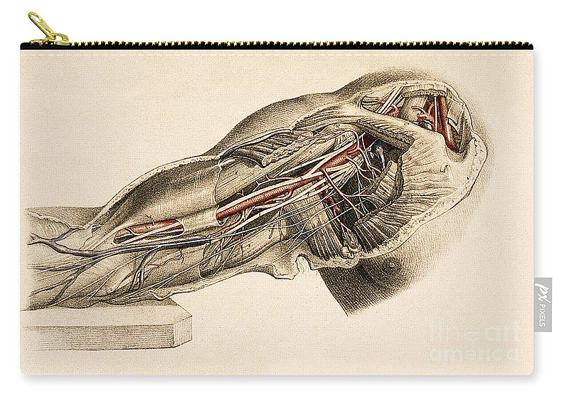 Historic Carry-all Pouch featuring the photograph Muscles And Blood Vessels In Arm, 1851 by Wellcome Images