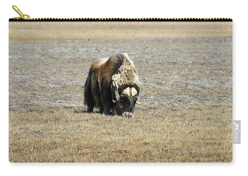 Musk Ox Carry-all Pouch featuring the photograph Musk Ox Grazing by Anthony Jones